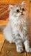 Màj vidéo 22/8 Superbes chatons persan aux yeux...