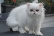 Magnifiques chatons persans