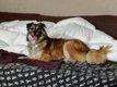 Oita chienne croisée berger à adopter