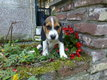 Adorable beagle femelle