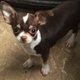 Magnifique chiot Chihuahua chocolat poil court