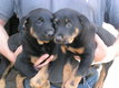 Chiots Beauceron pure race 8 semaines