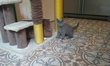 Adorable chaton Chartreux
