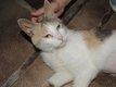 Sonia - chatte tricolore - spa La Louviere