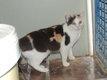 Mirabelle - chatte tricolore - spa La Louviere