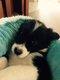 Chiots Border Collie mâle noir et blanc avec...