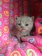 Adorable chatons British shorthair bleu