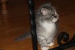 Nouvelles portées de chatons norvégiens à réserver