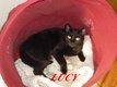Lucy, très belle petite panthère de salon de 11...