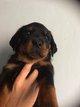 Chiots Rottweiler nés le 12 juillet.