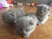 3 Chatons British shorthair bleu
