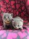 Adorable chatons British shorthair bleu