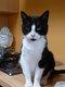 Titus, adorable chat mâle de 1 an yin et yang