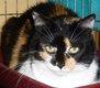 Fifille, belle chatte trico poils longs de 7 ans