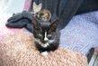 Mia, adorable chatonne yin et yang de 3 mois