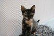 Stella, adorable chatonne écaille de tortue de 3...
