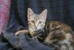 Tigresse, très belle chatonne dégradé brun de 3...