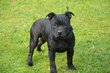 Chiots staffordshire bull terrier Disponible de...