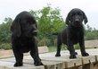 Chiots Labrador noir, blonde, brun