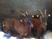 Chèvres naines, Boucs, Boucs castrés