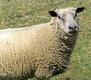 Moutons mâles