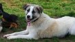 Caprice jeune chienne a adopter