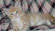 1 chaton mâle Maine-Coon