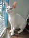 Abu - chat blanc et tigré - spa La Louviere