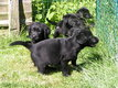 Chiot Labrador Noirs 8 semaines