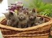 Chartreux chatons disponibles M et F- vac -...