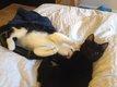 Chats mâles stérilisés et pucés à donner...