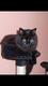 Chat angora noir à long poils perdu à St Séverin
