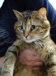 Chat femelle stérilisée de 3 ans à donner