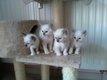 Chatons sacré de Birmanie à reserver