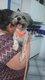 Yucki, femelle x Shih tzu/Yorkshire née en 2014 à...