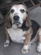 Beagles croisés cherchent une très bonne famille