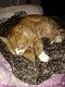 Chat roux bavette blanche disparu depuis le 5...