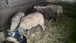 Av agneaux