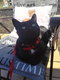 Chat à donner femelle noir avec tâche blanche