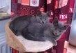 Jolis chatons chartreux - M et F – pedigree –...