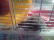 Hamsters russes de couleur grise