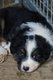 Chiots berger australien losh noirs tricolores