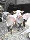 Jeune mouton male pour la fete