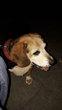 Beagle de 9 ans à donner contre bons soins