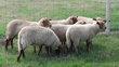 4 agneaux mâles de +/-5 mois Roux d'ARdenne