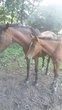 Pouliche sbs poney née en 2017