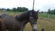 Hongre sbs poney né en 2016