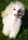 Chiot Caniche nain Mâle avec pedigree