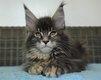 Très agréable et doux chatons Maine Coon à...