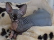 Nugget, Magnifique chaton sphynx mâle ; parents...